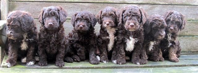 Neoata And Angus Pups Labradoodle Breeders Labradoodle Doodle Dog
