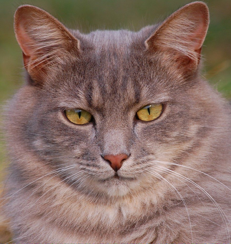 Does Cats See In Color WhyCatsPurr ID811706657 Cat