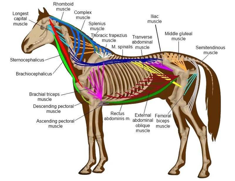 Bildergebnis für trapezmuskel pferd | Life at the Horse Barn ...