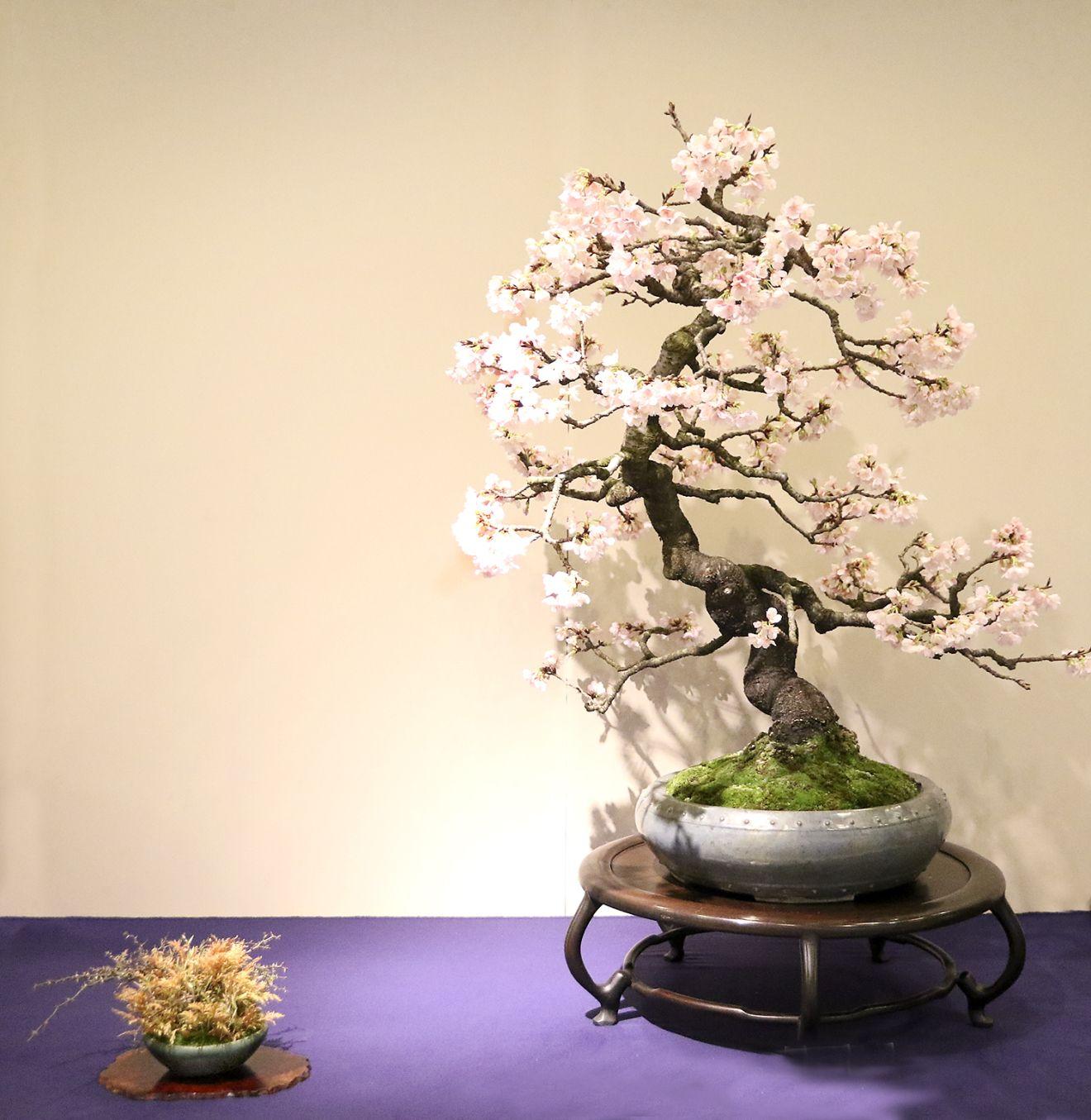 Using Accessory Plantings For Displaying Bonsai Bonsai Plants Bonsai Techniques