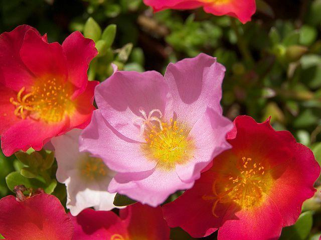 Anemone Flower Flowers Anemone Anemone Flower