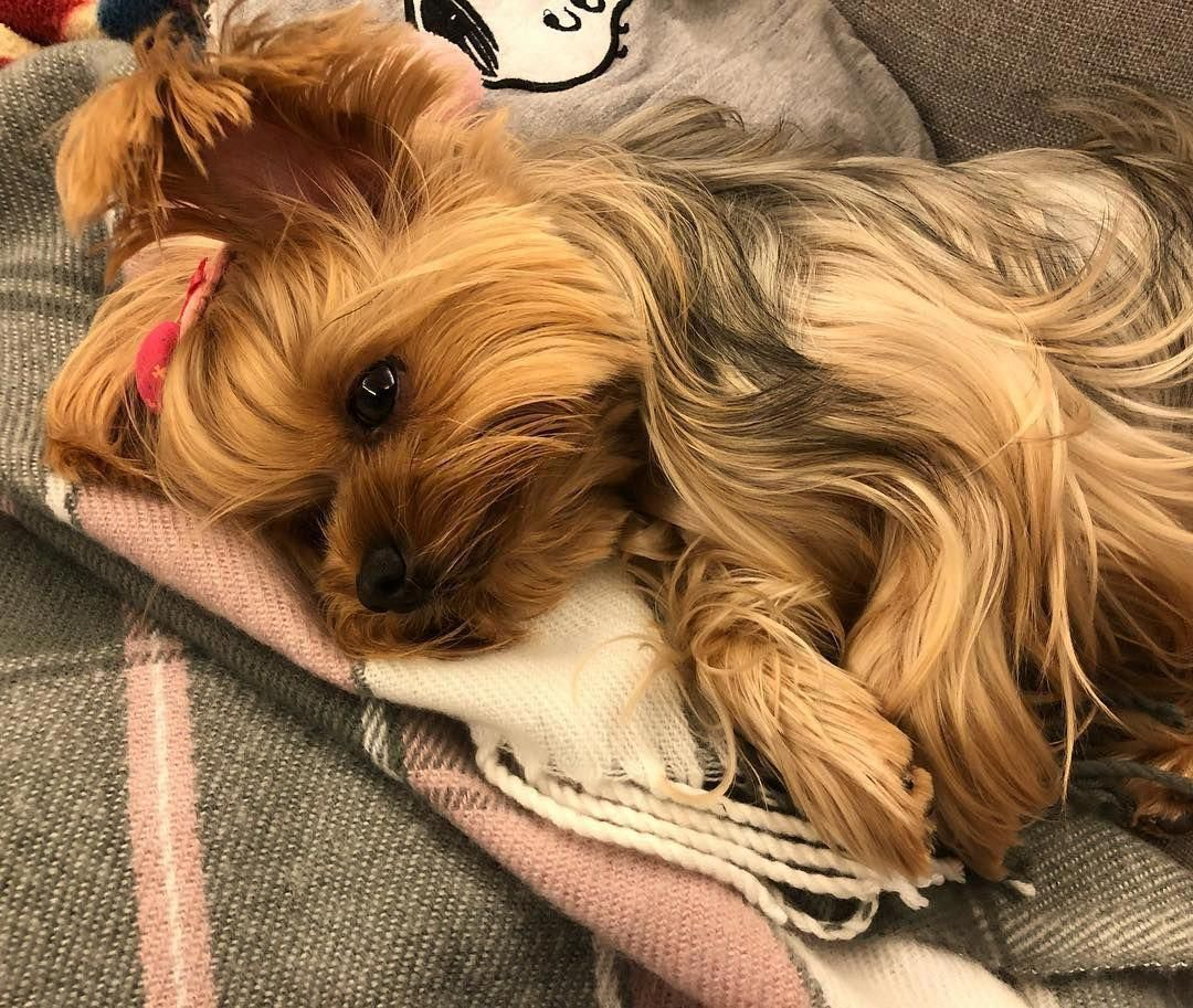 Yorkie Yorkshire Terrier Rosie Taiwan Dog Puppy Cute