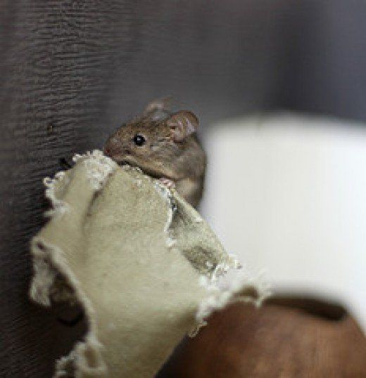 Are There Mice In Your Attic Or Hvac System Duct Work Hvac Duct Mice Repellent