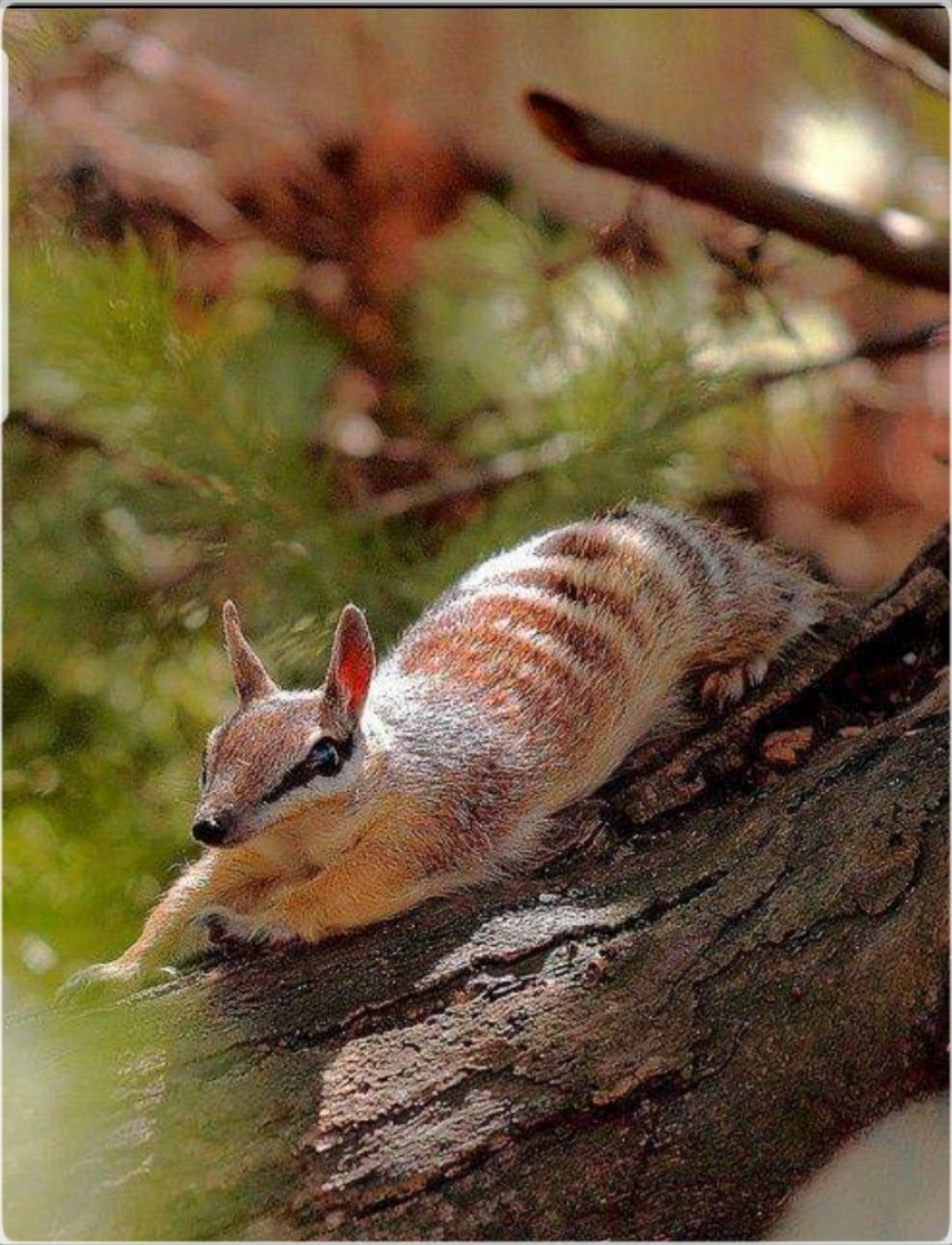 Numbat Banded Anteater... isn't he cute. Numbat, Animals