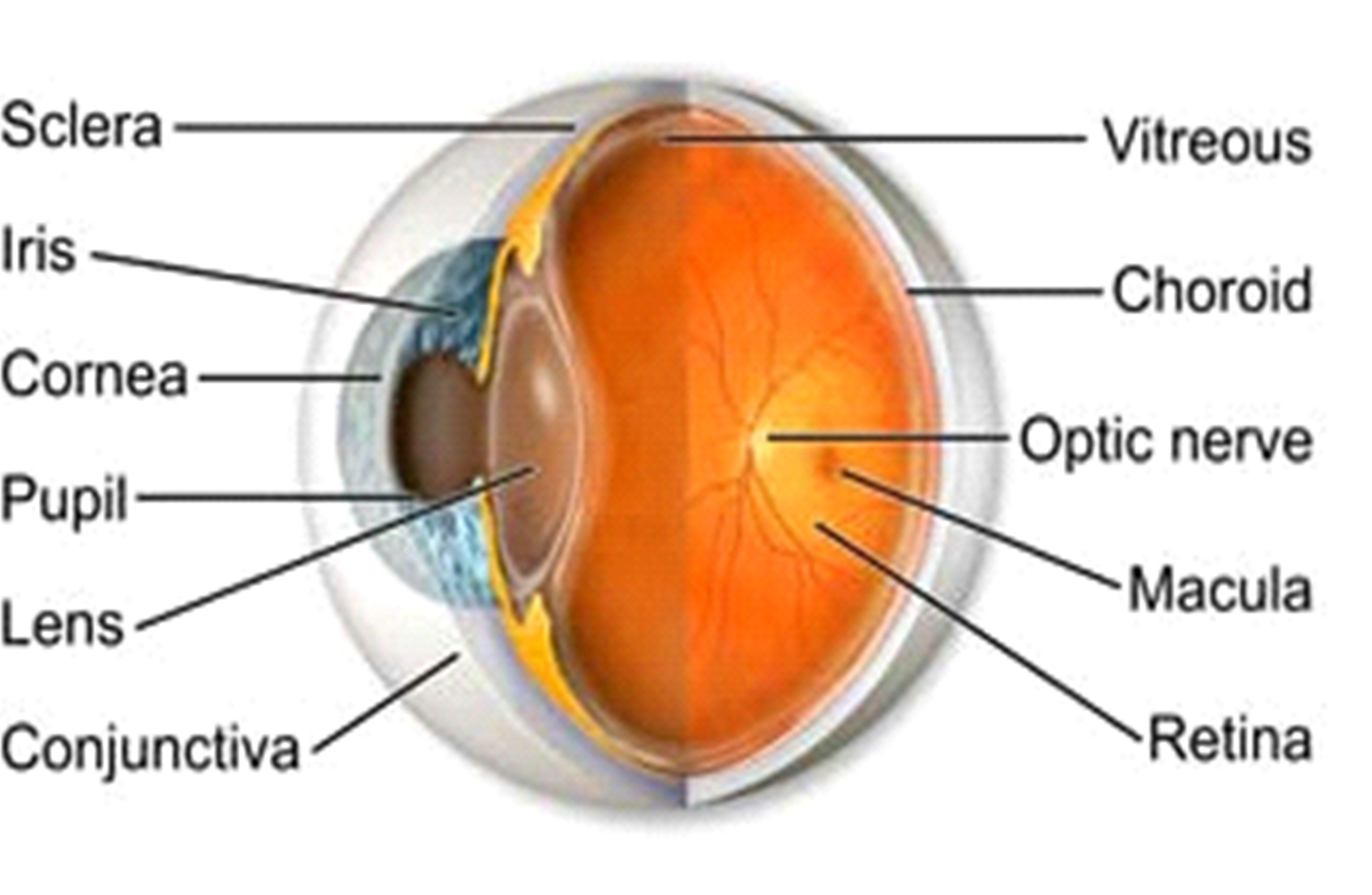 medium resolution of webmd s eyes anatomy pages provides a detailed picture and diagram of eye description