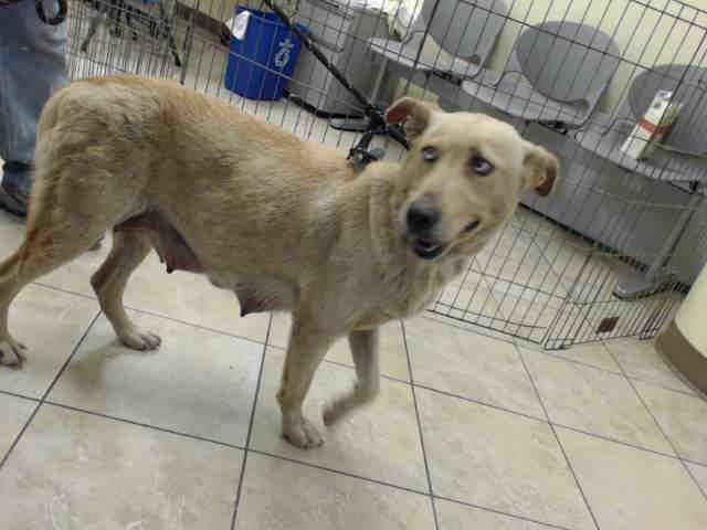 Labrador Retriever Dog For Adoption In Houston Tx Adn 507465 On Puppyfinder Com Gender Female Age Young Animal Help Yellow Labrador Retriever Pets