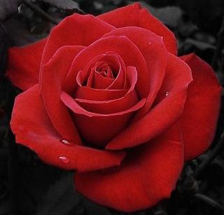 Kado Indah Buat Keluarga Orang Tua Atau Kekasih Selalu Dilengkapi Dengan Keindahan Bunga Bunga Yang Memperindah Suasana Kebahag Bunga Mawar Merah Gambar Bunga