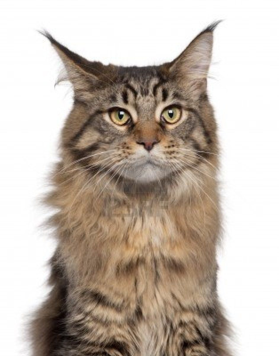 Pin on Maine Coons )