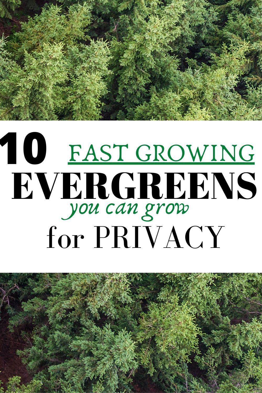 10 Fast Growing Evergreen Trees For Privacy Garden Down South In 2020 Fast Growing Evergreens Evergreen Trees For Privacy Evergreen Shrubs