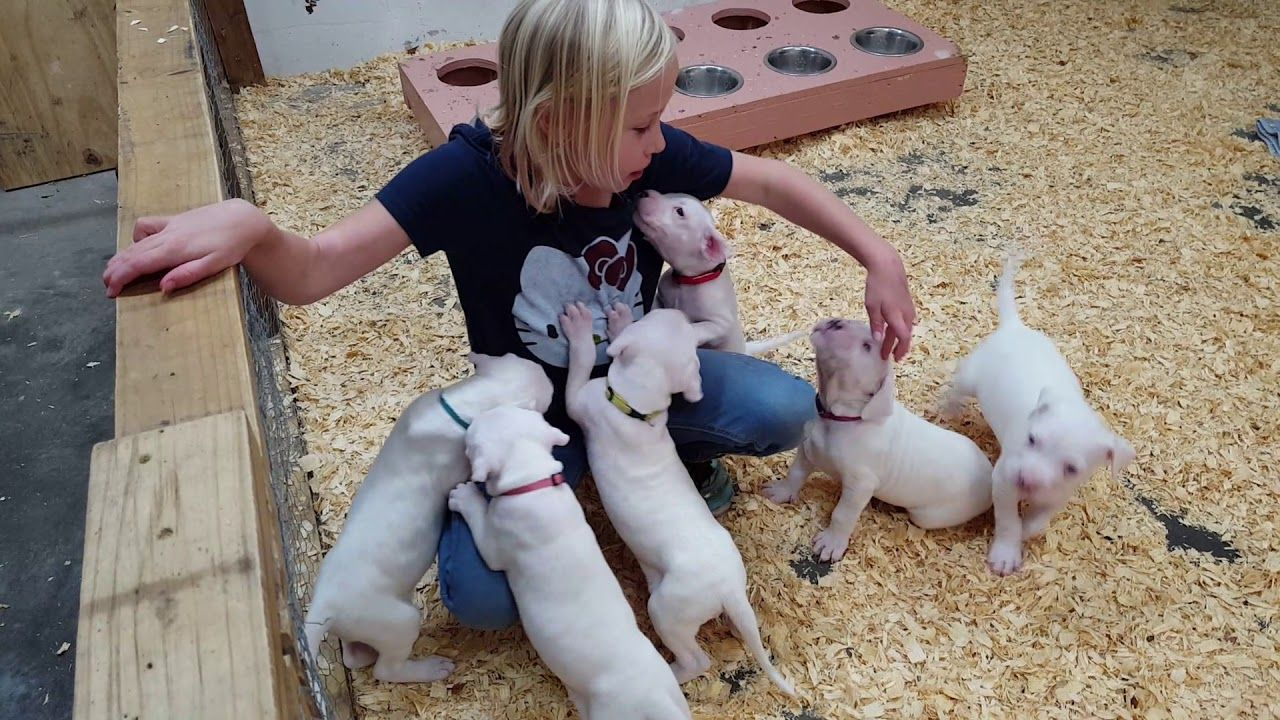 Sophia And The 35 Day Old Dogo Argentino Puppies Yo Amor Dogos Video Dogo Argentino Puppies Amor
