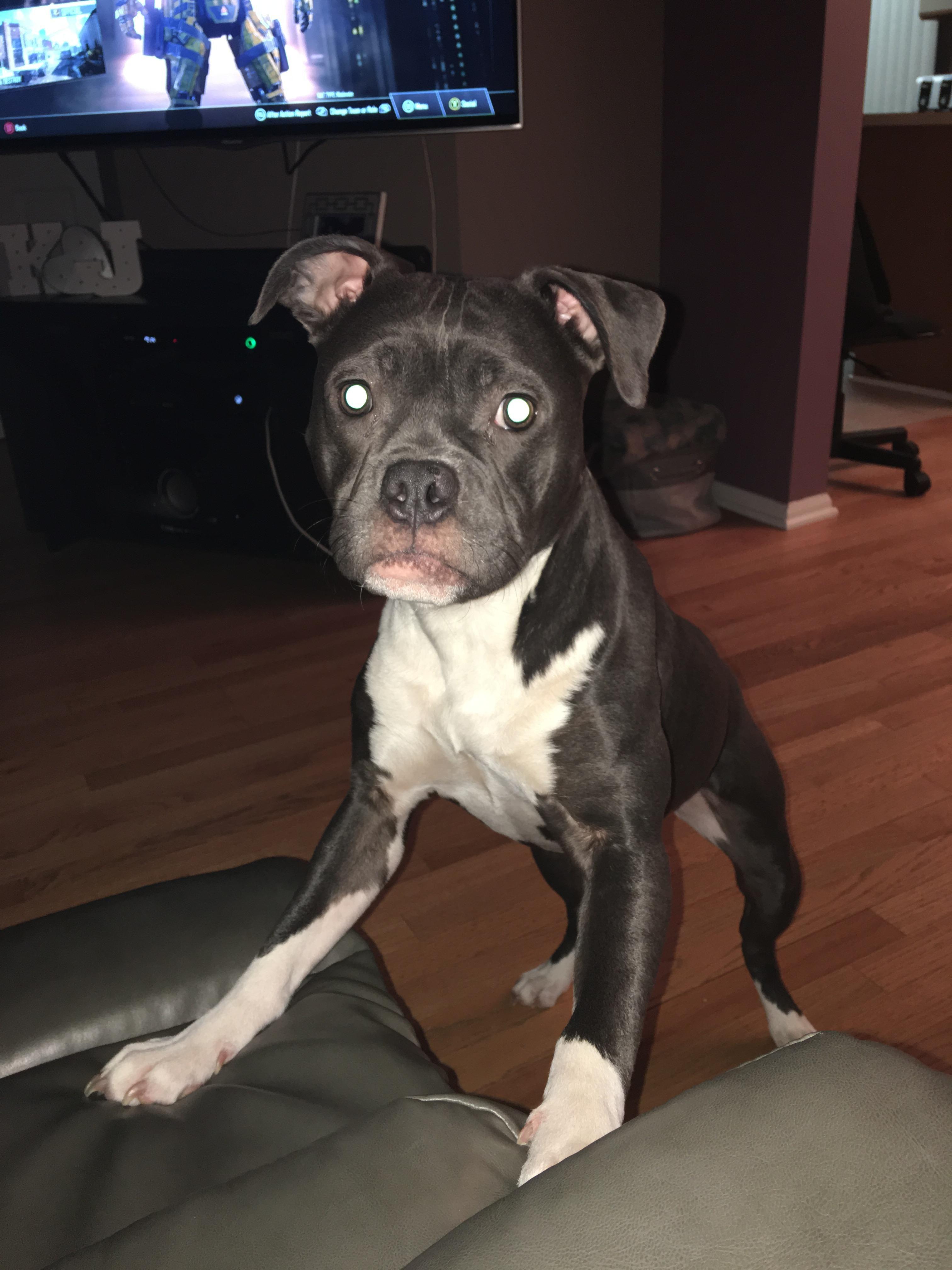 Meet Jordy the fully grown 39 pound pittie