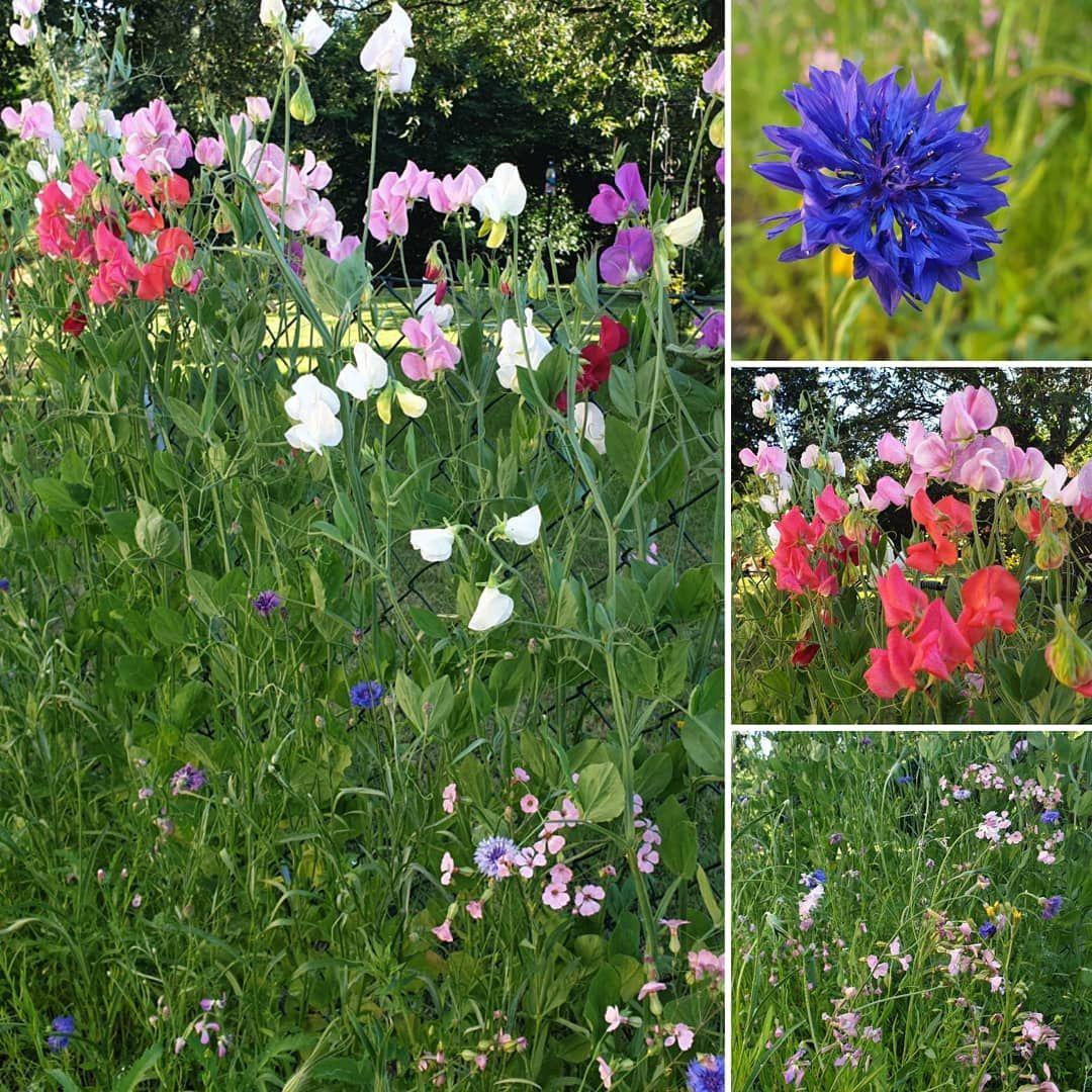 Die Duftwicken Sind Dieses Jahr Besonders Schon Und Uberhaupt Sind Alle Unsere Wildblumen So Schon Am Bluhen Uberall Dufte Garten Design Garten Gartenbau