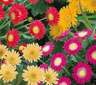 Robertas 4 Pc Perennial Garvinea Gerber Daisy Collection Gerber
