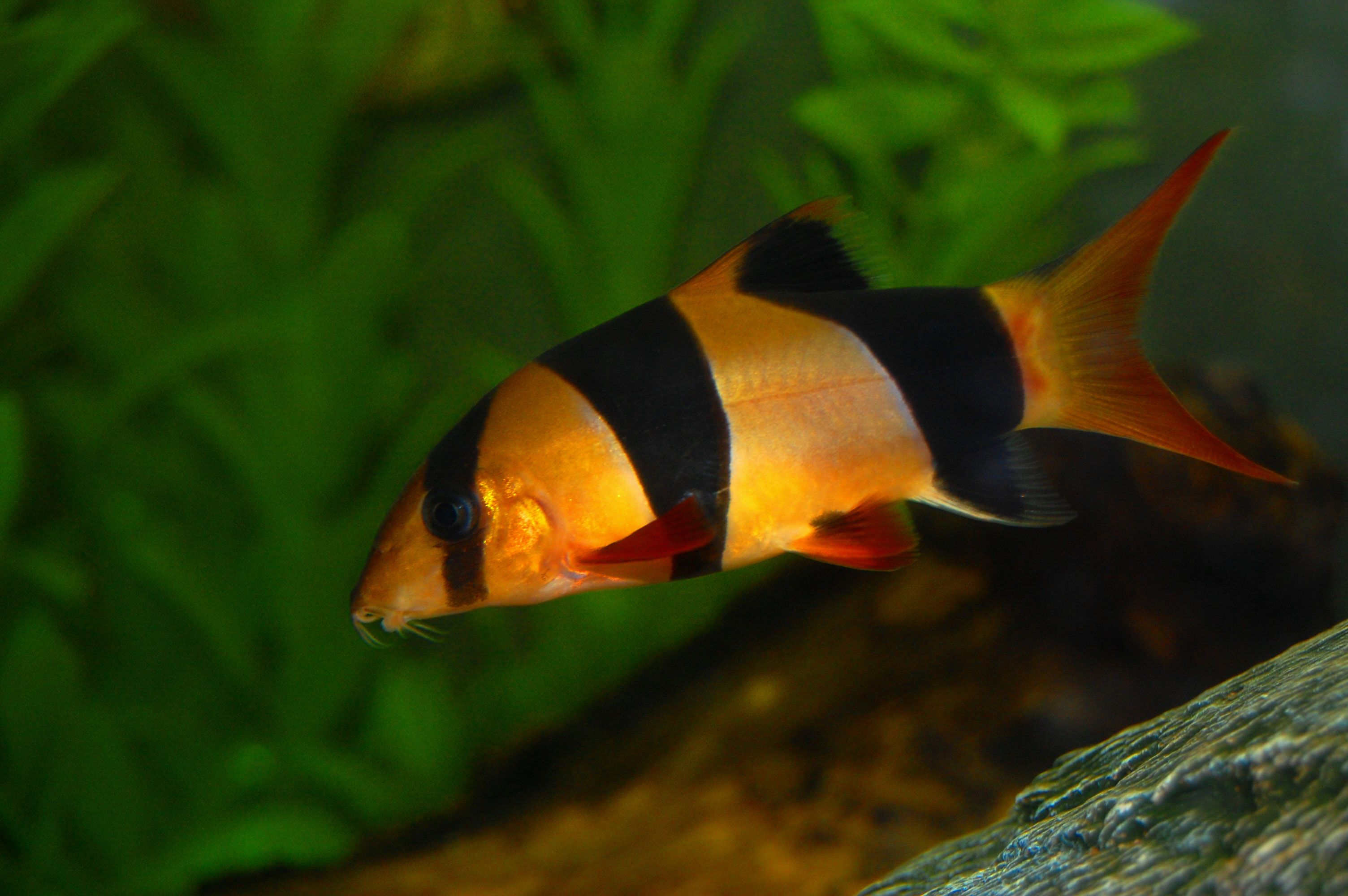 Freshwater aquarium fish loach - Want To Learn More About Clown Loach Check Out The Clown Loach Wiki And If