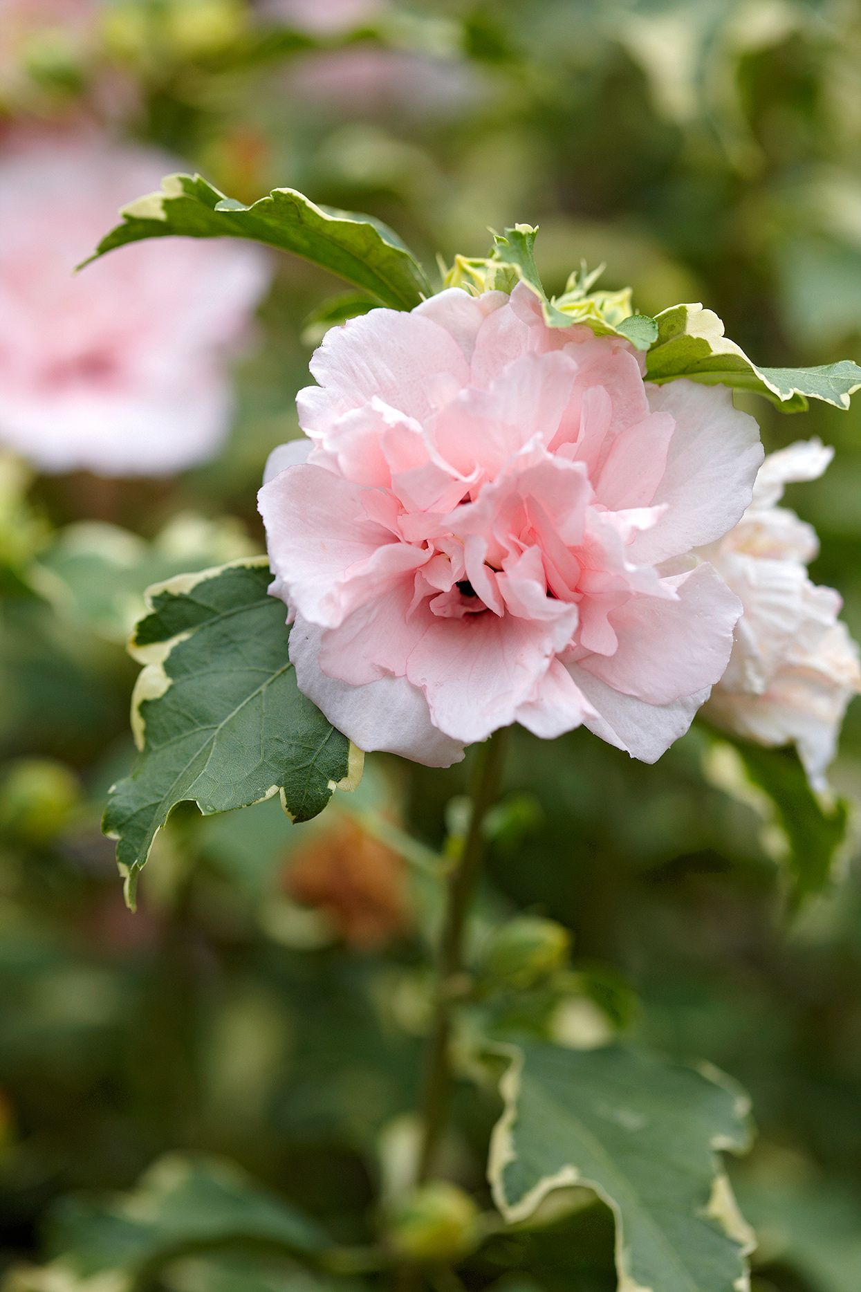24 Of The Best Pink Flowers For Your Garden Pink Flowering Trees Pink Flowers Pansies Flowers