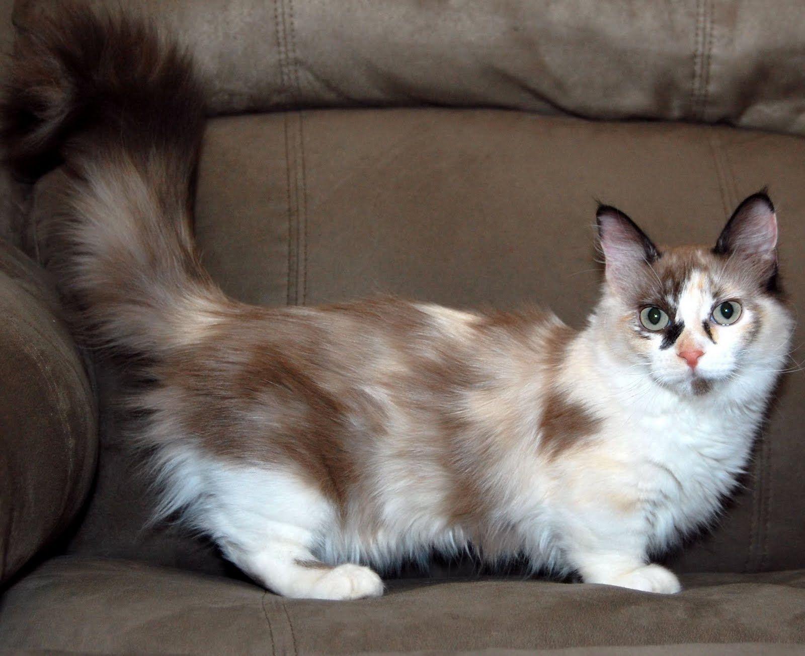 Munchkin Cat Fun Animals Wiki Videos Pictures Stories Munchkin Cat Munchkin Kitten Cat Breeds