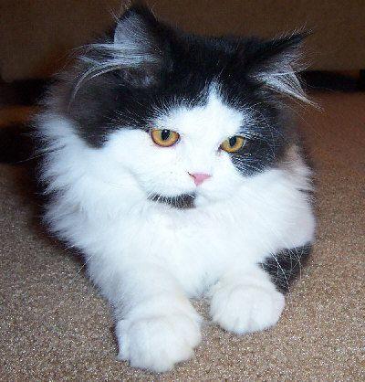 Black And White Bicolor Persian Kitten Cat Facts Bicolor Cat Kitten Breeds