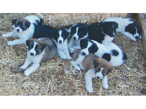 Litter Of 9 Golden Retriever Puppies For Sale In Seattle Wa Adn 49803 On Puppyfinder Com Gender Fe Golden Retriever Puppies For Sale Golden Retriever Litter