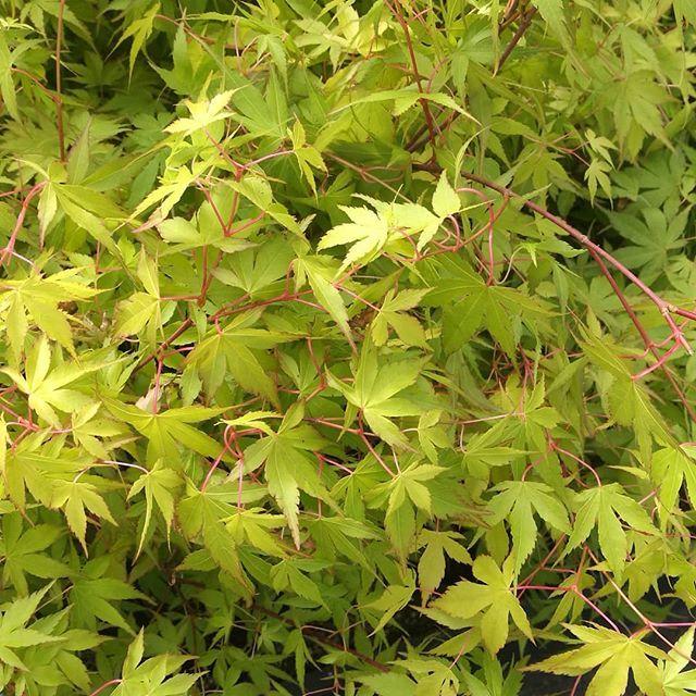 Acer from Johnstown Garden Centre. Johnstown garden