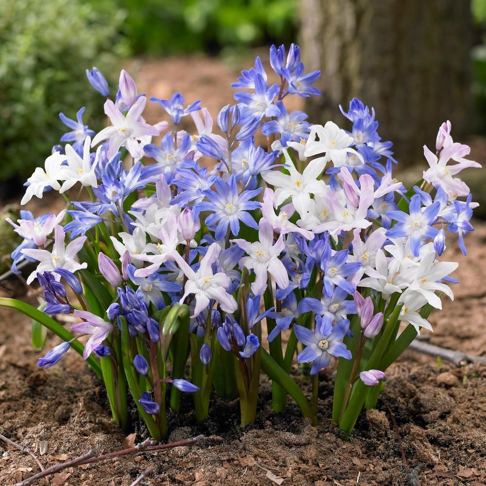 Chionodoxa Assorted Mix Early Spring Flowers Early Spring And