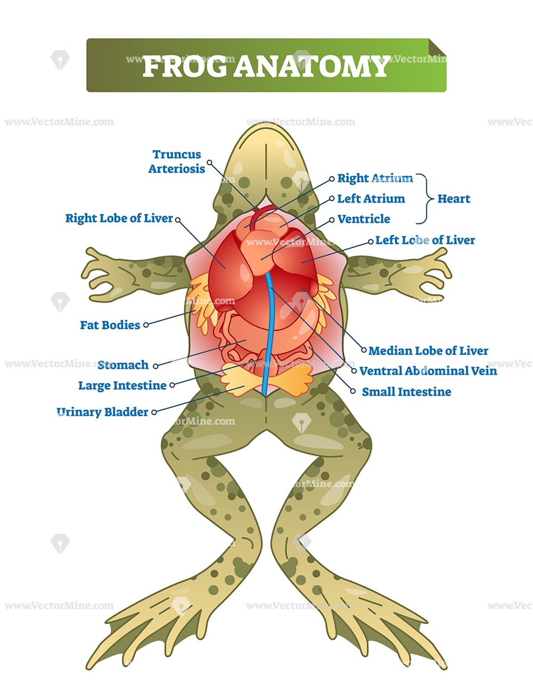 Frog Anatomy Educational Vector Illustration Diagram