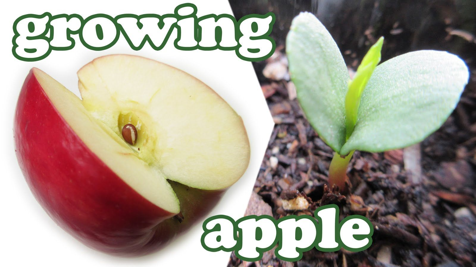 How To Grow An Apple Tree From Seeds Growing Apples