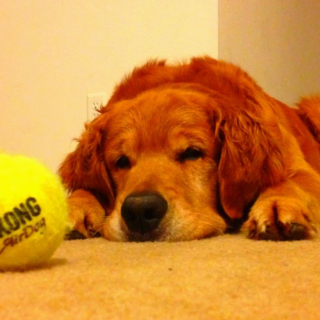 Tired golden after playing hours of fetch :)