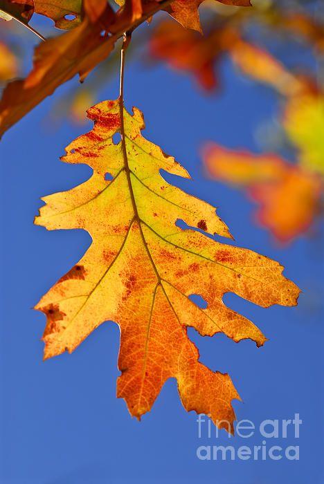 Fall Oak Leaf By Elena Elisseeva Autumn Leaves Art Autumn Leaves Photography Oak Leaf Art