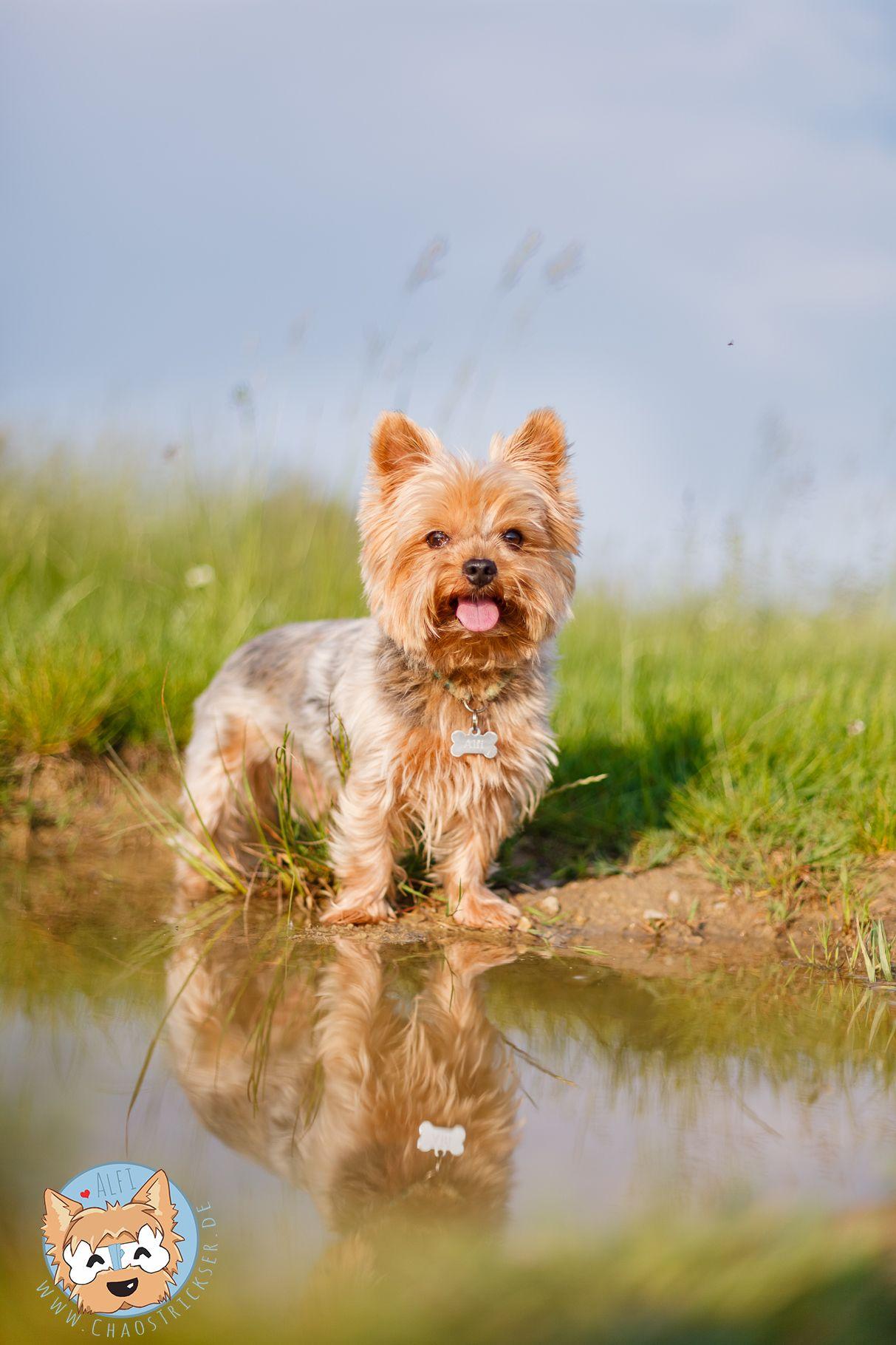 Chaostrickser Alfi Yorkie Yorkshire Terrier Lieblingsbild Yorker
