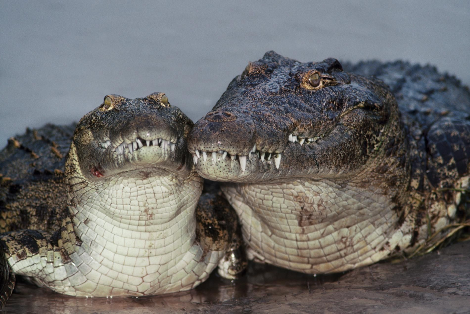New Crocodile Species Found Hiding In Plain Sight Crocodile