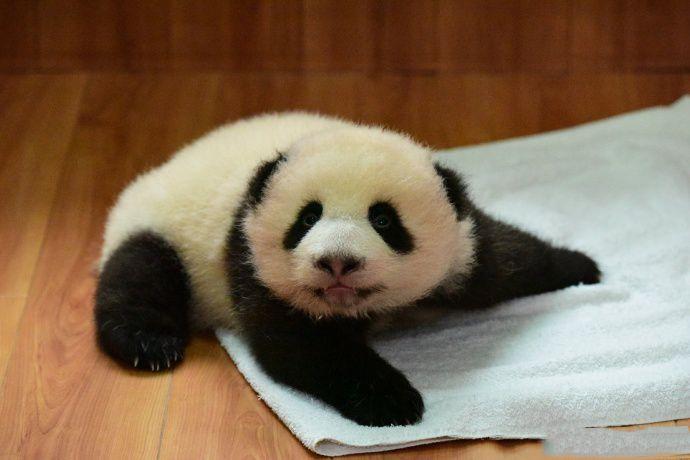 Little cute panda cub