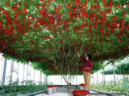 Rare Italian tomato tree. Would you like a tomato tree like this?    Posted by www.GoMadideas.com #GoMad