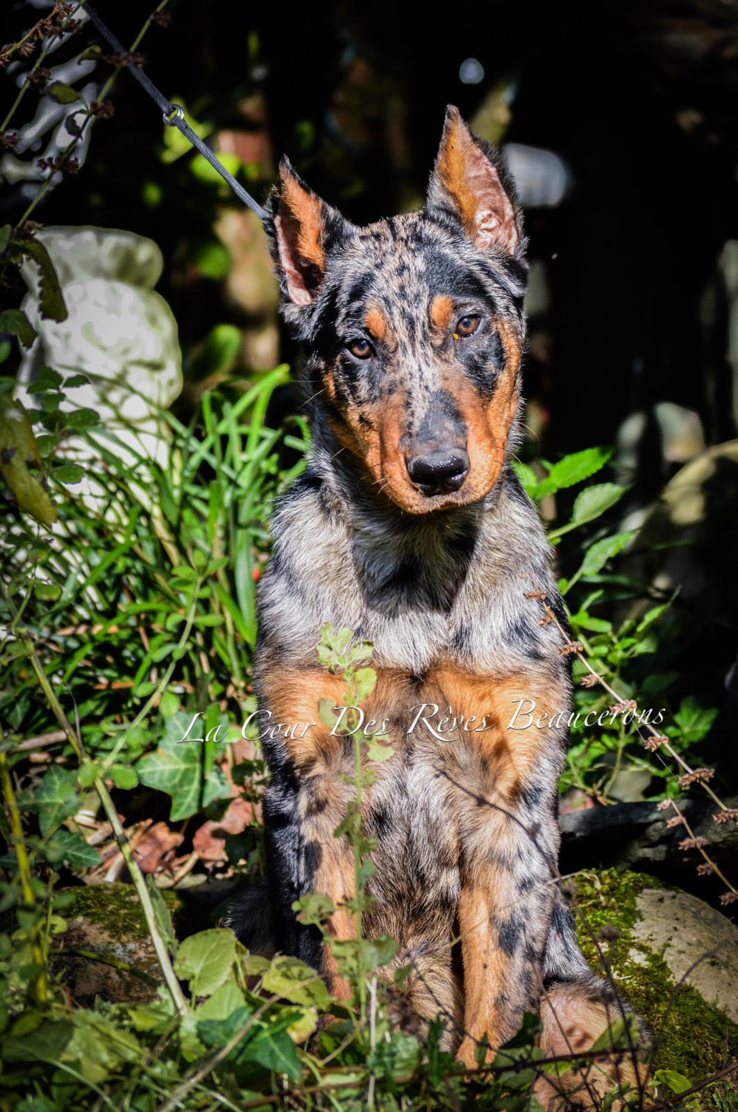 Pictures Of A Beauceron Dog
