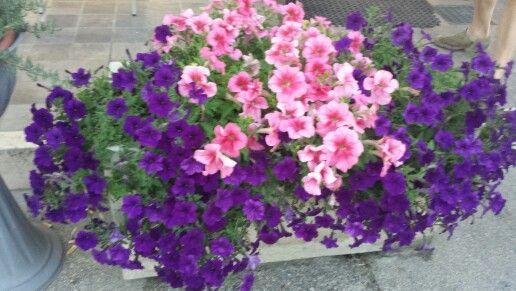 Pegognaga Container Flowers Flowers Plants