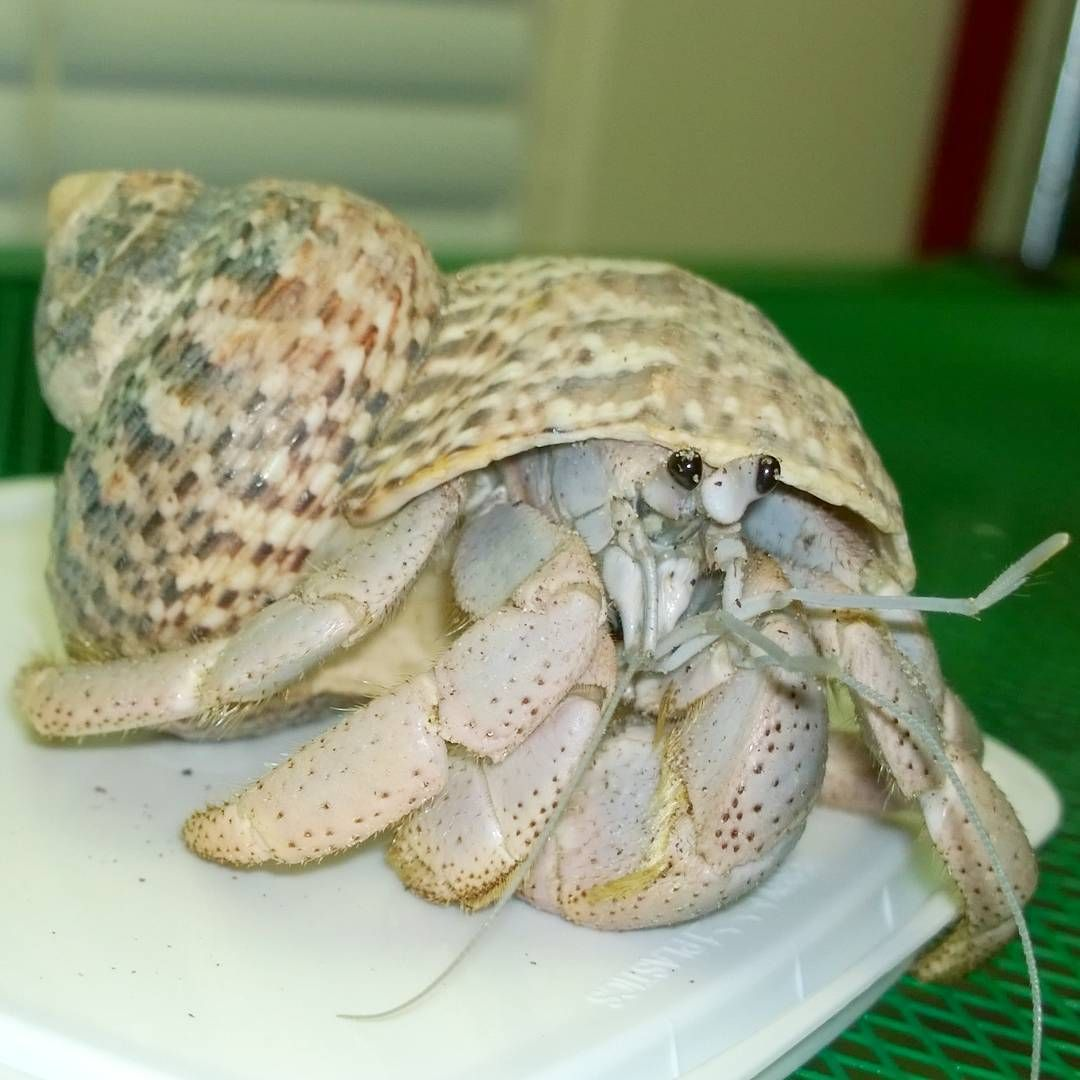Hermit Crab Adoption   No Not A Trick Of The Camera This Purple Pincher Was An Adoption And