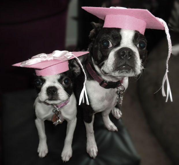The Benefits Of Dog Agility Training Boston Terrier Boston