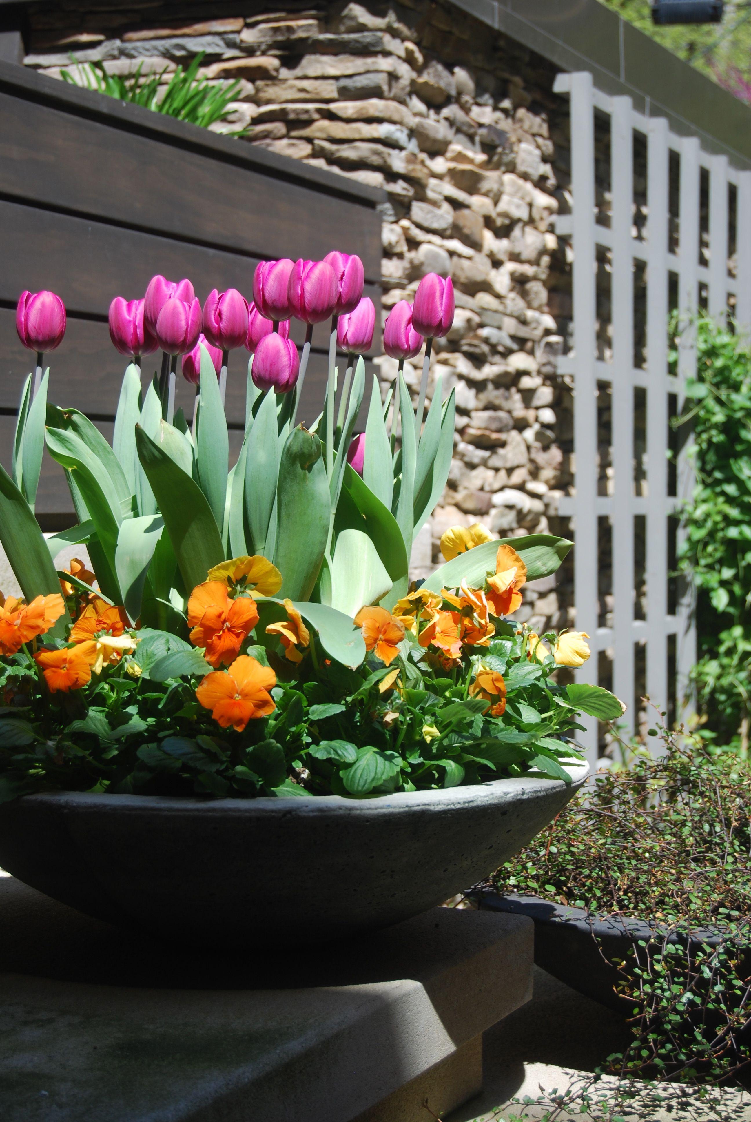 Spring Annuals Flowers Pansies Tulips Urban Garden Landscape Design Planting Tulips Tulips Garden Spring Planter
