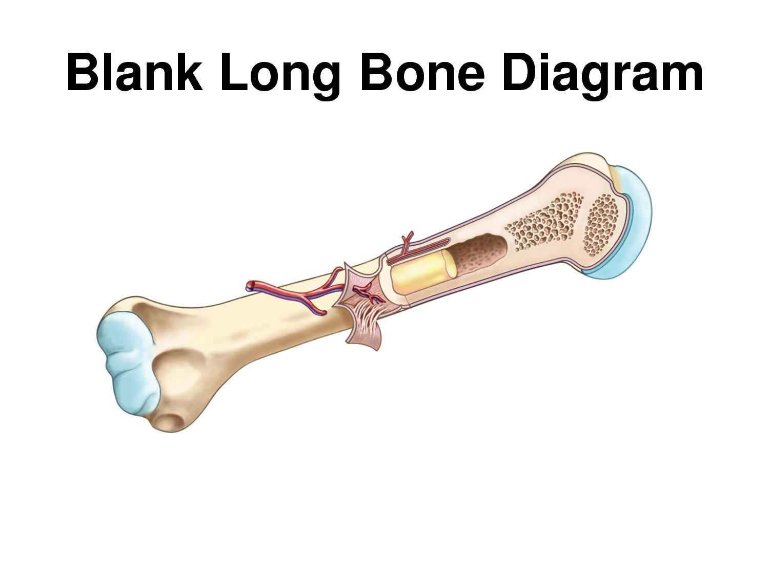 foot bone diagram blank world of reference. Black Bedroom Furniture Sets. Home Design Ideas