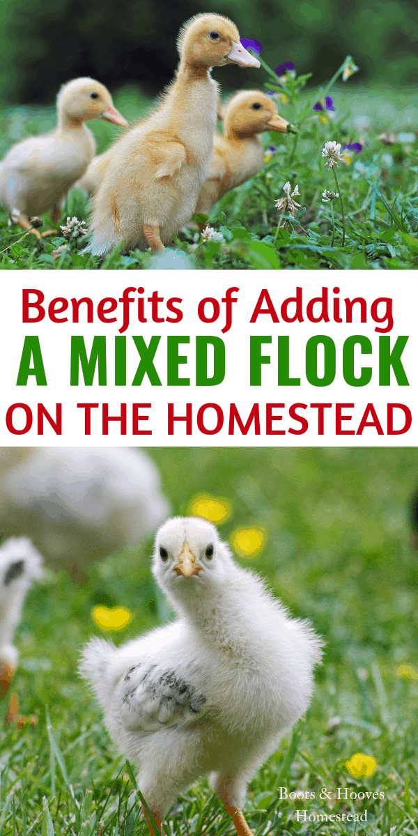 Benefits of Adding a Mixed Flock on the Homestead # ...