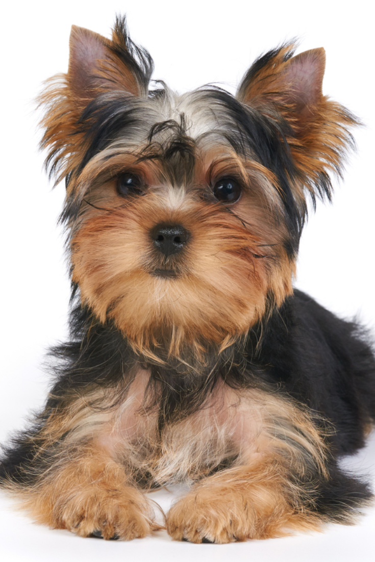 Cute Puppy Of The Yorkshire Terrier Lies On White Background Isolated Yorkshireterrier Yorkie Lovers Yorkshire Terrier Terrier