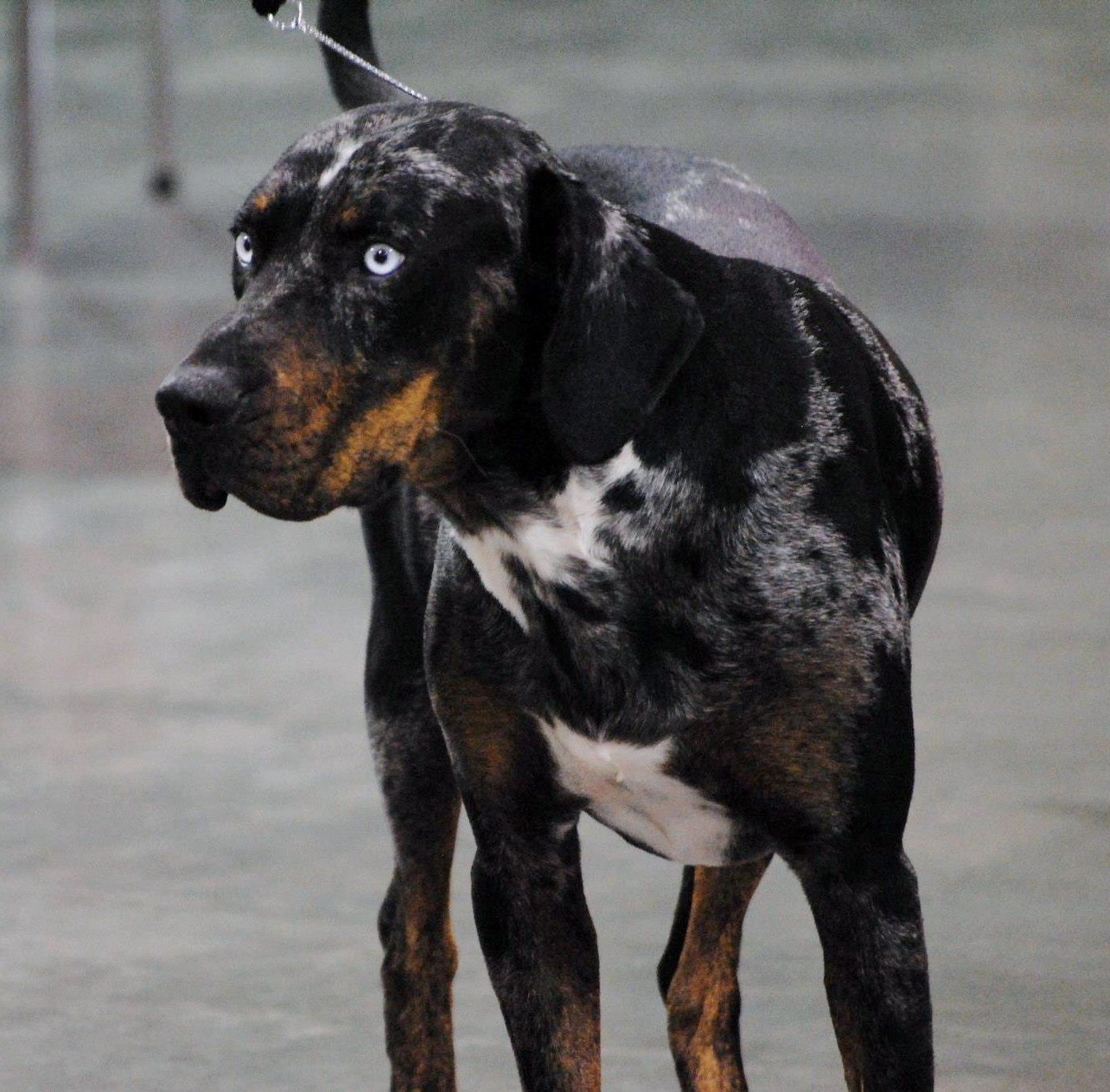 Wright Line Catahoula Leopard Dog For Sale