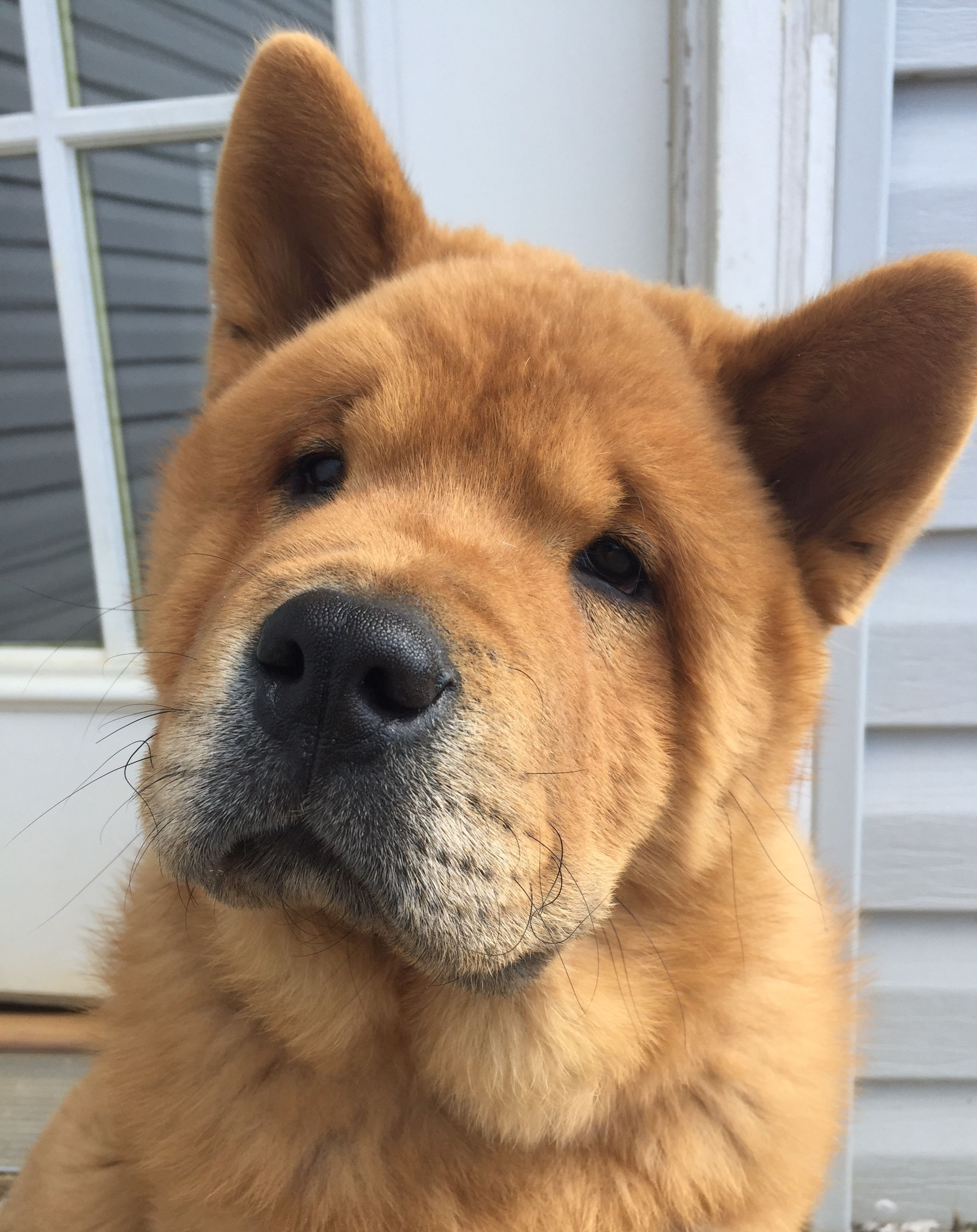 Sebastian Smooth Chow Chow Puppy Charmar Kennels Chow Chow Dogs