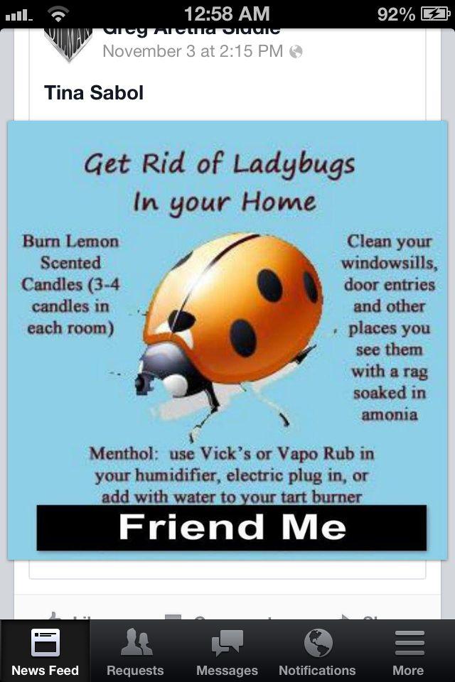 Getting Rid Of Ladybug Beetles Asian Beetle Pest Control Lemon Cleaning