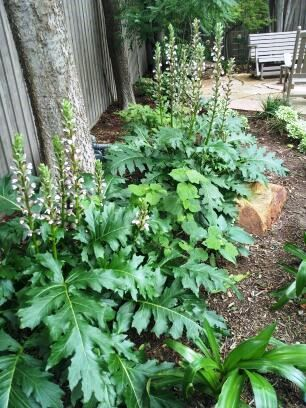 Acanthus mollis one of our favorite tough shade for Low maintenance bushes for shade