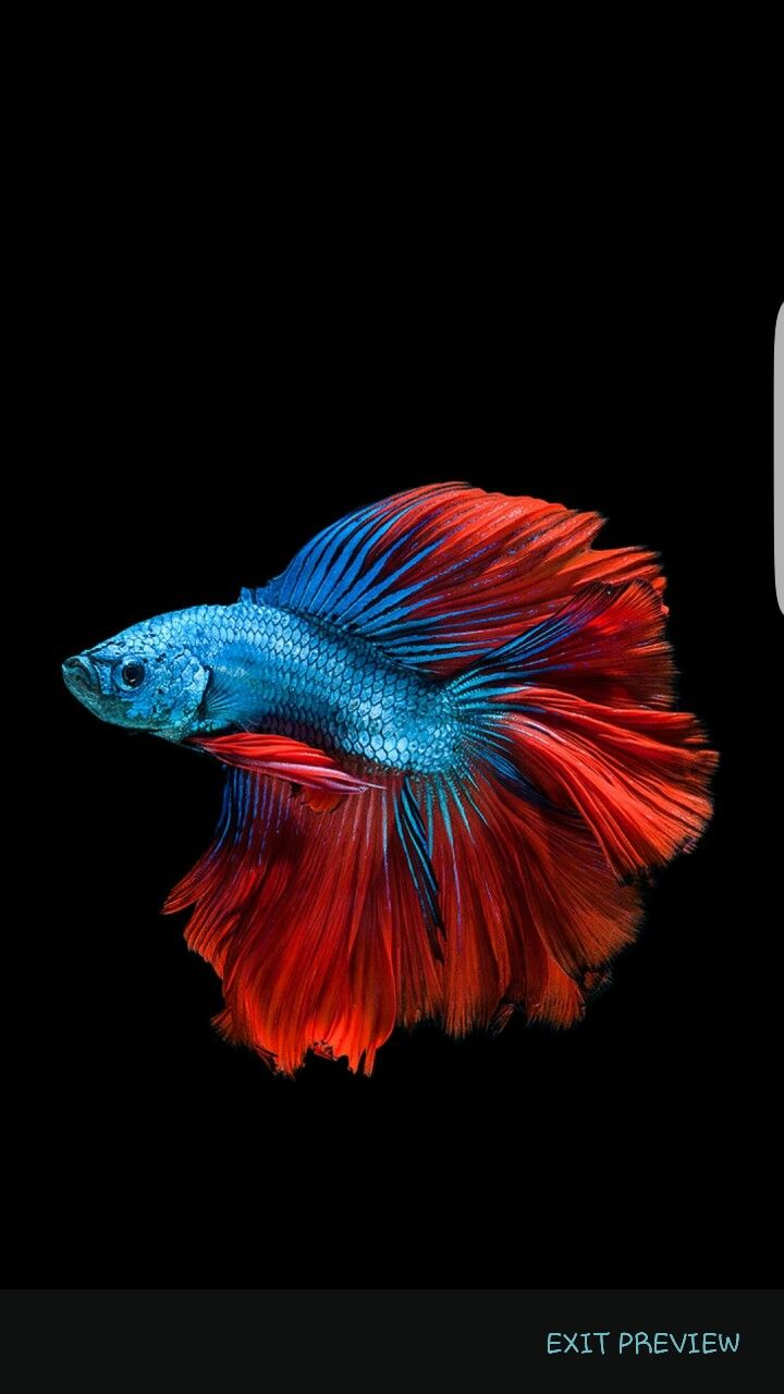 Looks just like our new double tail! | Underwater | Pinterest ...