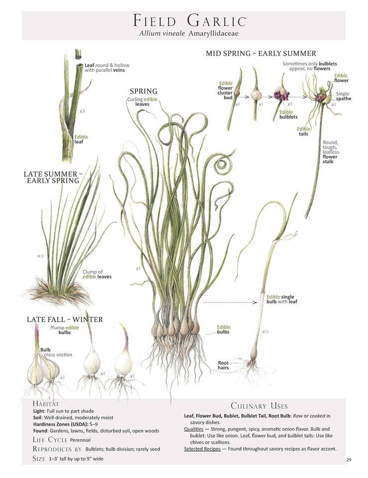 Wild Garlic Allium Ursinum Plant Identification Pages From The Book Foraging 1000 In 2020 Plant Identification Edible Wild Plants Medicinal Plants