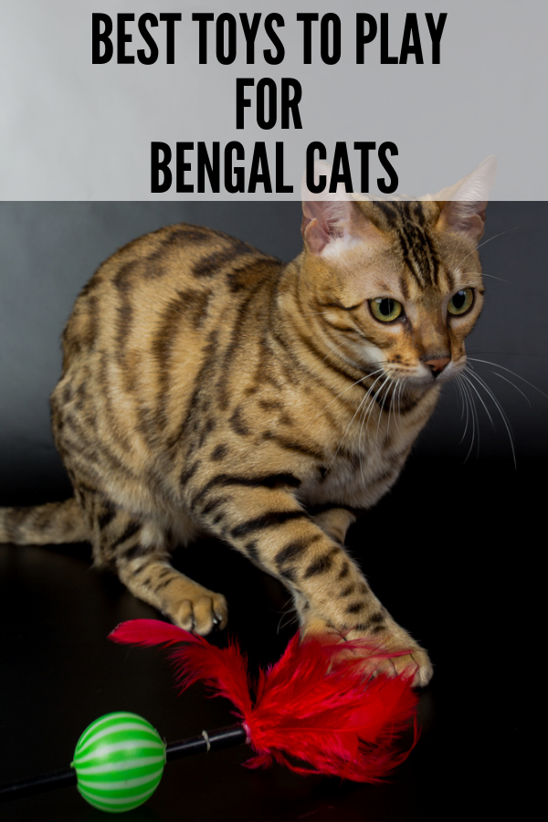 13 Best Toys for Bengal Cats [ 2020 ] Bengal cat, Bengal