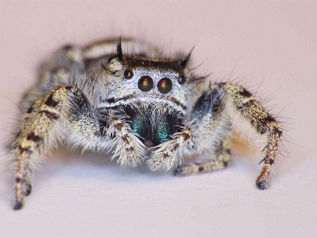 Spider おしゃれまとめの人気アイデア Pinterest Ariella Waltman ハエトリグモ 蜘蛛