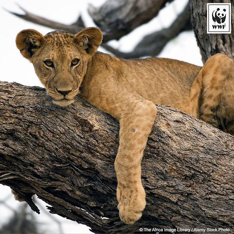 Lion (Panthera leo) grimpant dans un arbre dans la Réserve de Selous, Tanzanie.