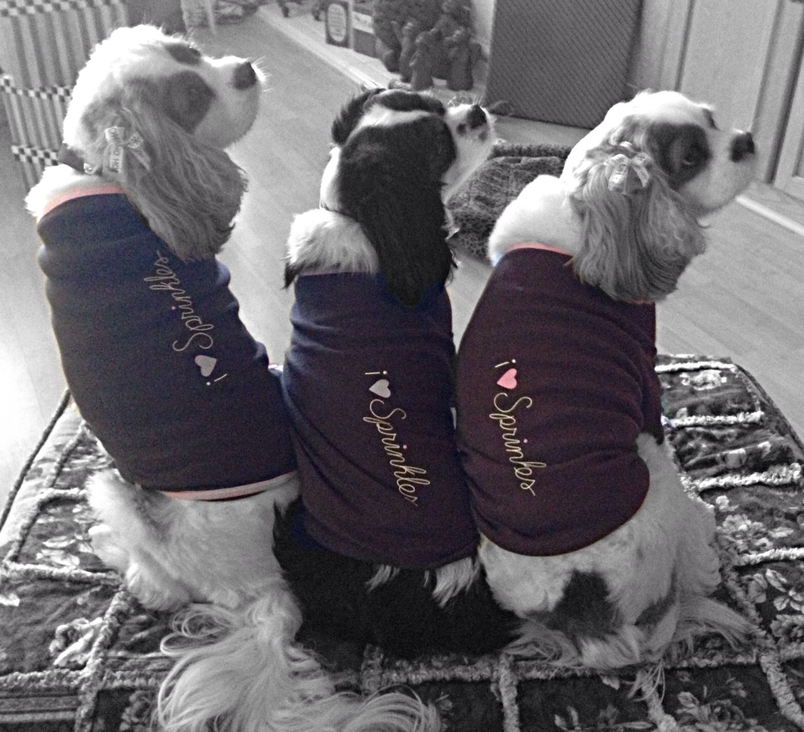 Cavalier king charles spaniels sprinkles with images